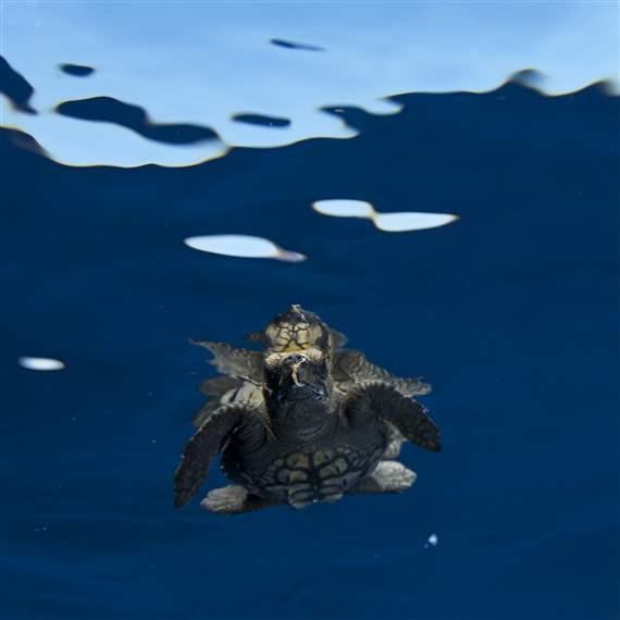 Desktop high seas loggerhead 1x1