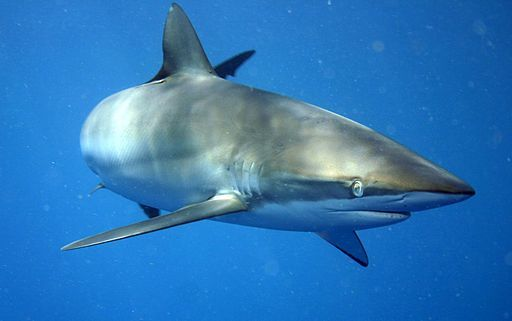 Desktop carcharhinus falciformis off cuba