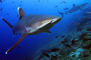 Desktop shark 17172