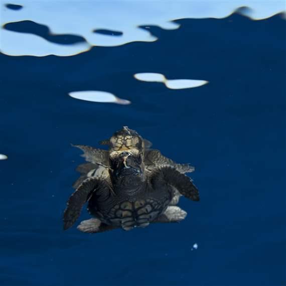 Desktop high loggerhead sea turtle 1x1