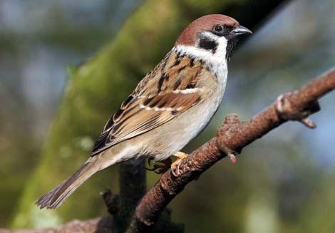 Desktop sparrow sorrow