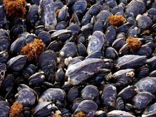 Desktop ocean acidification mussels 4x3