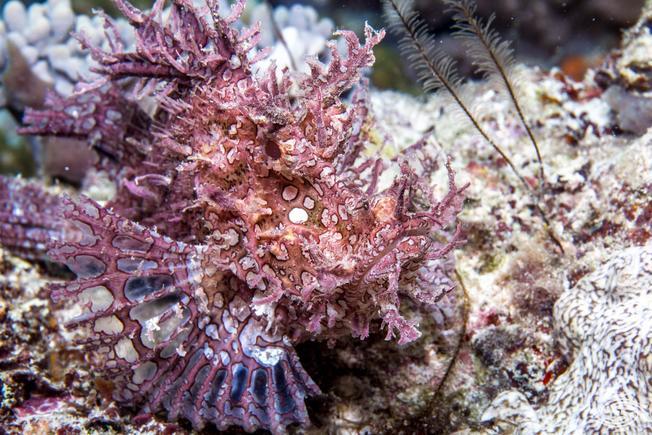 Desktop weedy scorpionfish 2