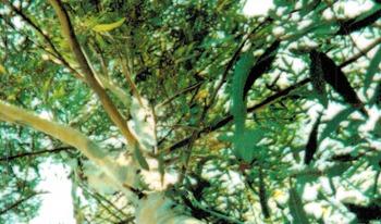 Influex store beautiful green tree