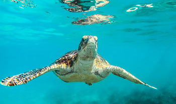 Influex store sea turtle underwater crystal clear caribbean water