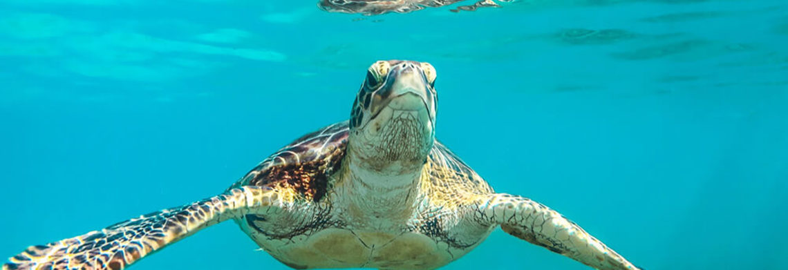 Show sea turtle underwater crystal clear caribbean water